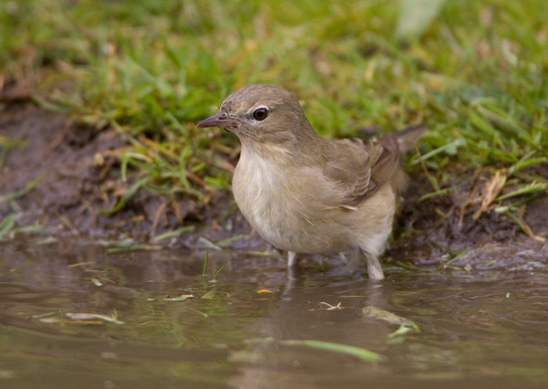 Garden Warbler in the Pond