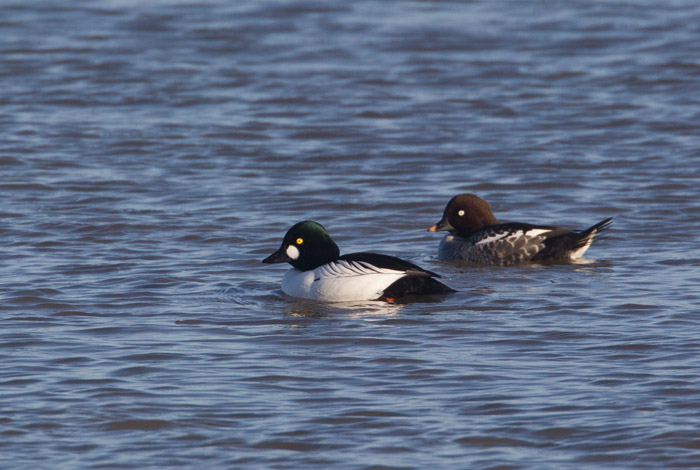 Goldeneye - male and female