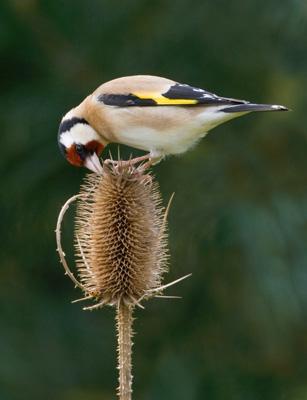 Goldfinch Feeding on Teasel