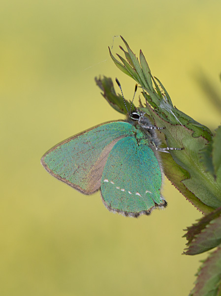 Green Hairstreak
