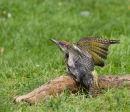 Juvenile Green Woodpecker