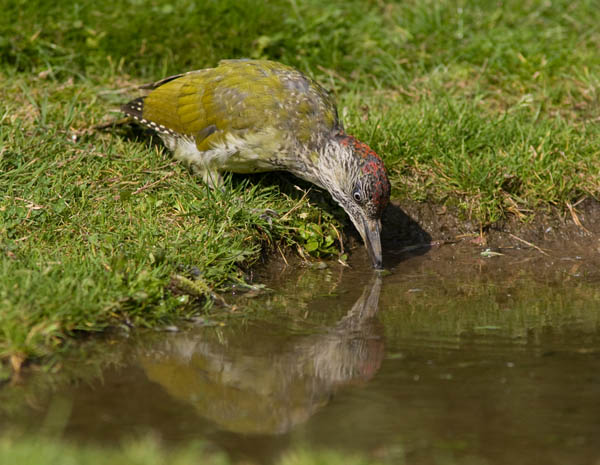 Juvenile Green Woodpecker at Water