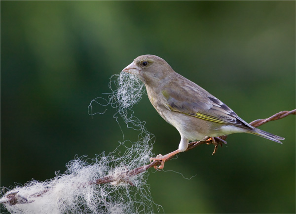 Greenfinch Collecting Wool