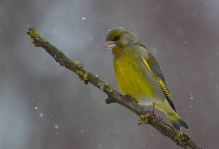 Greenfinch in Snow