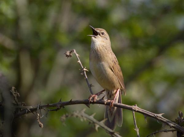 Grasshopper Warbler 'Reeling'