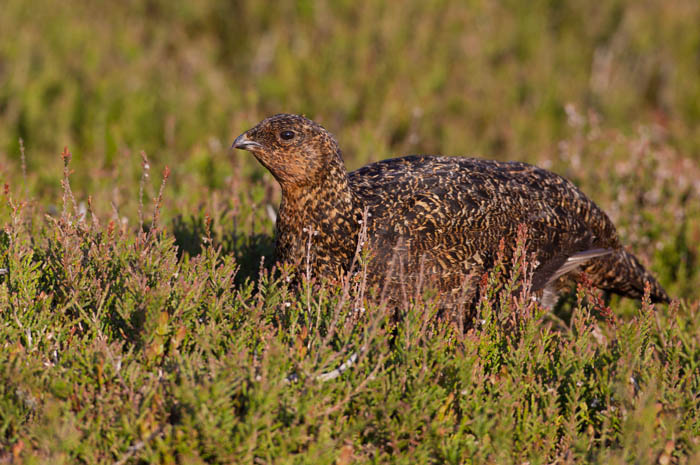 Red Grouse (female)
