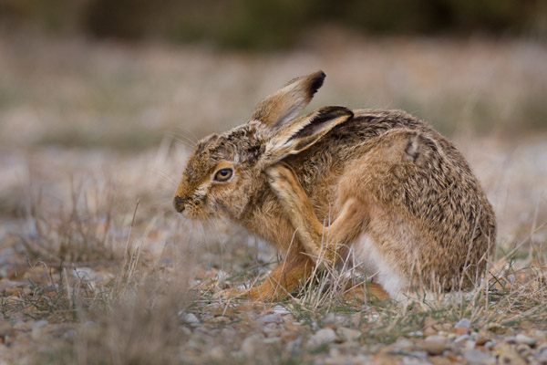 Brown Hare, Scratching