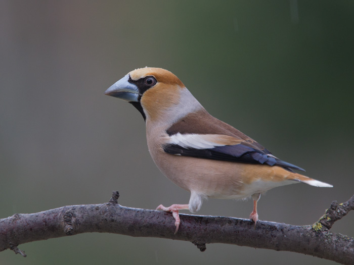 Hawfinch in Rain Shower