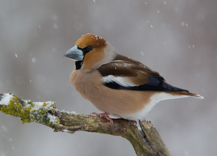 Male Hawfinch in a Snow-storm