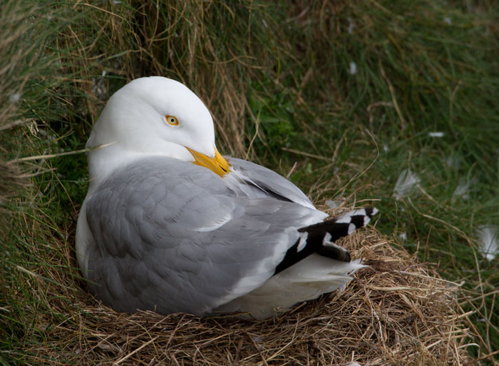 Herring Gull at Nest