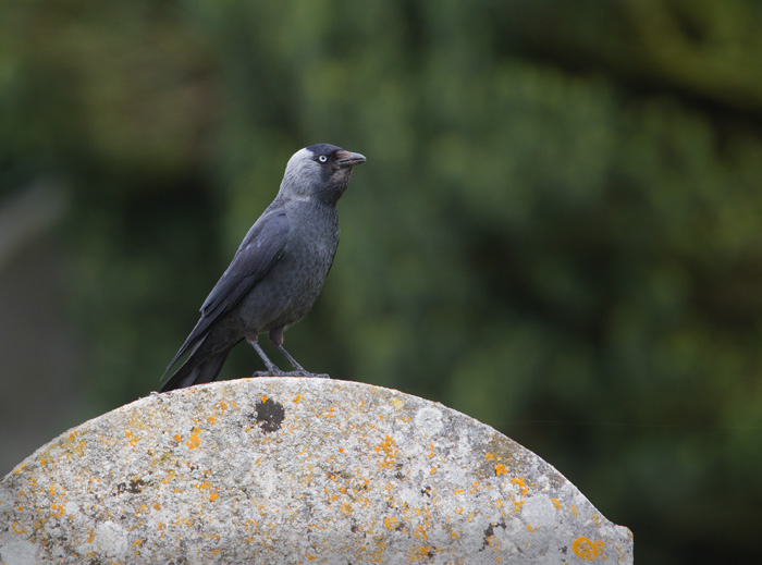 Jackdaw on Gravestone