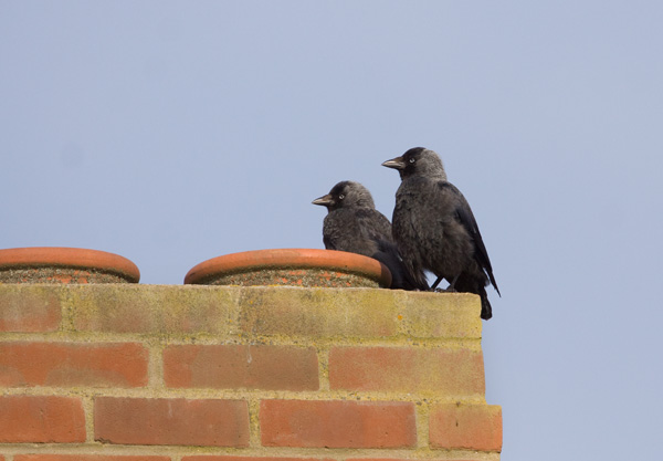 Jackdaws on Chimney