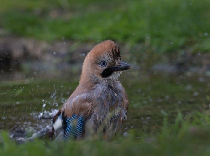 Jay - bathing