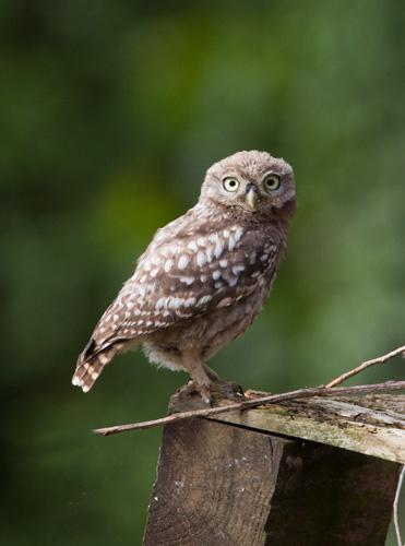 Little Owl - juvenile