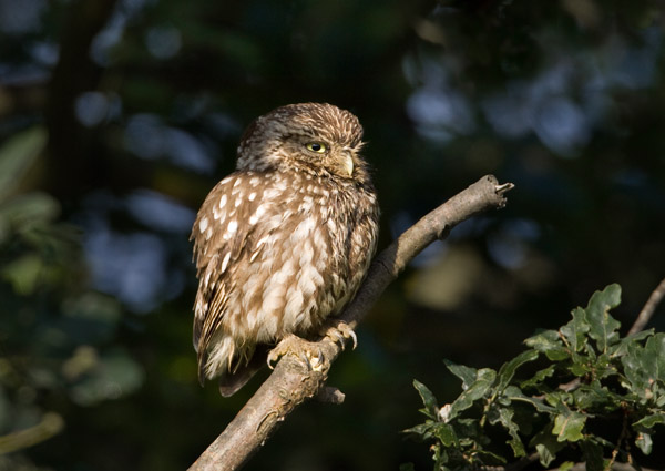 Little Owl Adult