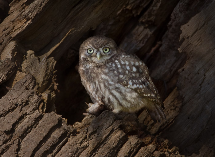 Little Owl with Shrew