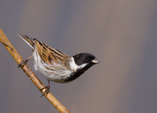 Reed Bunting on Willow