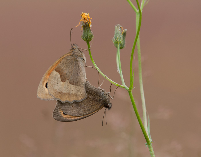 Meadow Browns - paired