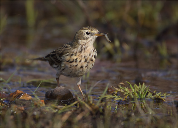 Meadow Pipit with Prey