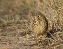 Meadow Pipit in Evening Light