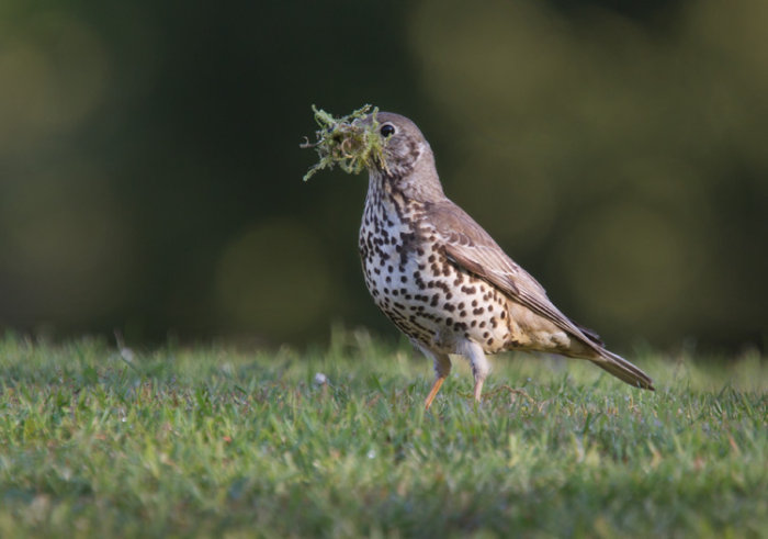 Mistle Thrush with Nest Material
