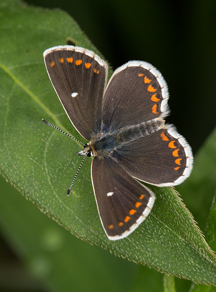Northern Brown Argus