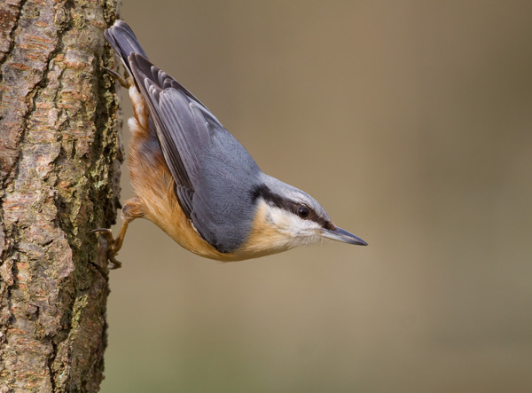 Nuthatch on Birch