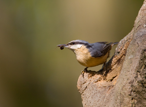 Nuthatch with Spider