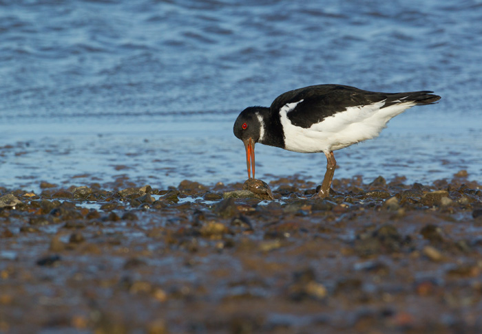Oystercatcher with Mussel