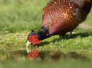 Pheasant at Pond