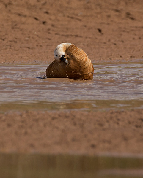 Ruddy Shelduck, bathing