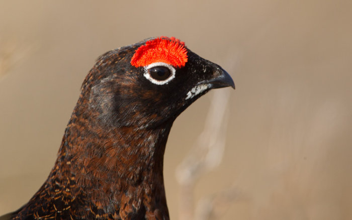 Red Grouse (male) - head shot