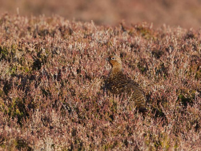 Female Red Grouse