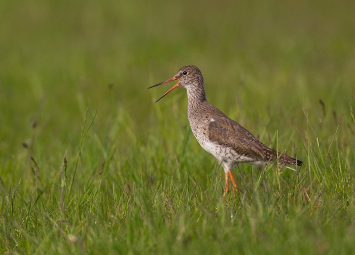 Redshank Calling (Very Loudly)