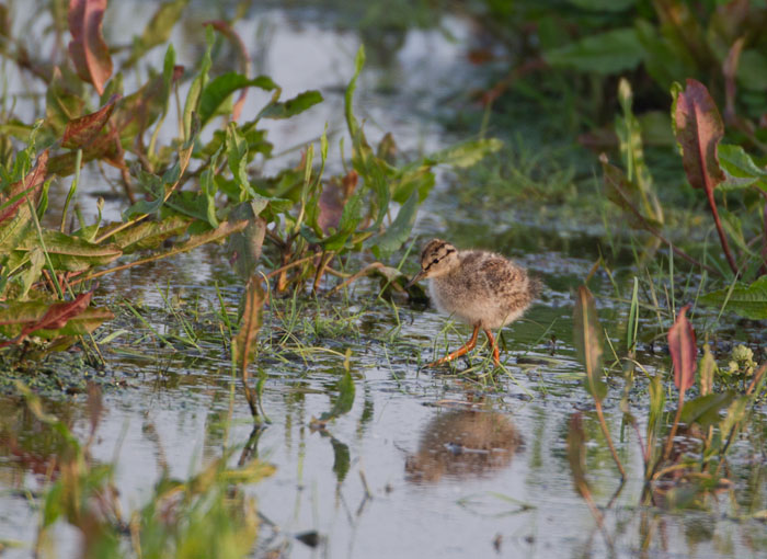 Redshank chick