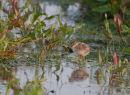 Redshank chick