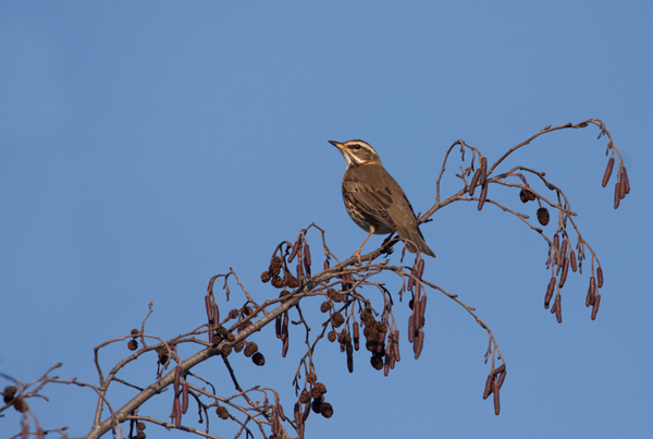 Redwing on Alder