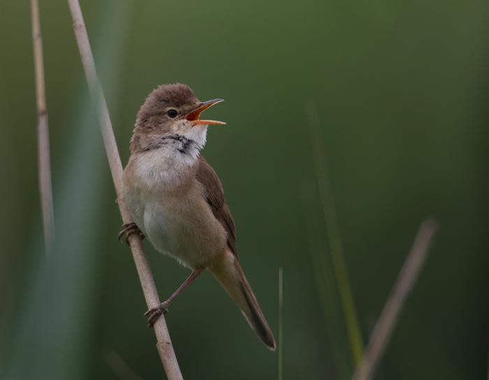 Reed Warbler in Song