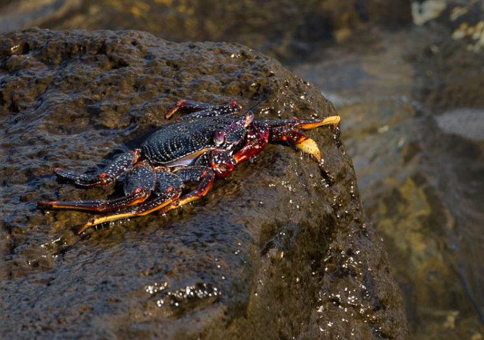 Runner Crab