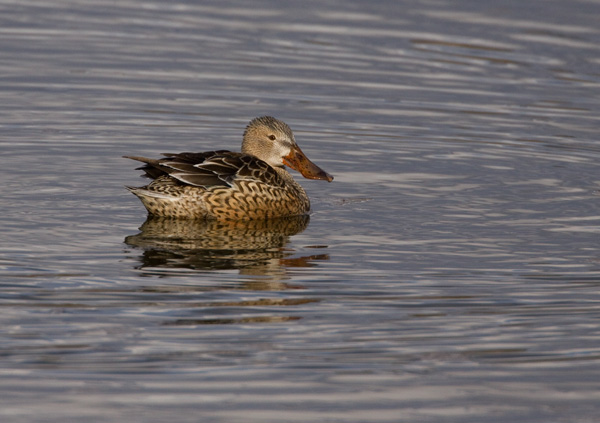 Shoveler (Female)