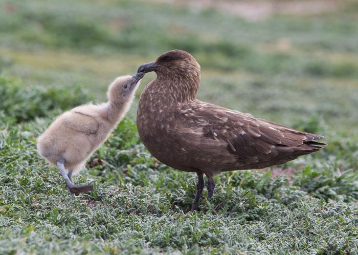 Falklands Skuas