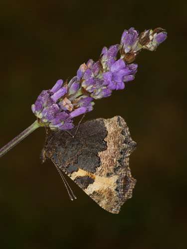 Small Tortoiseshell Roosting on Lavender