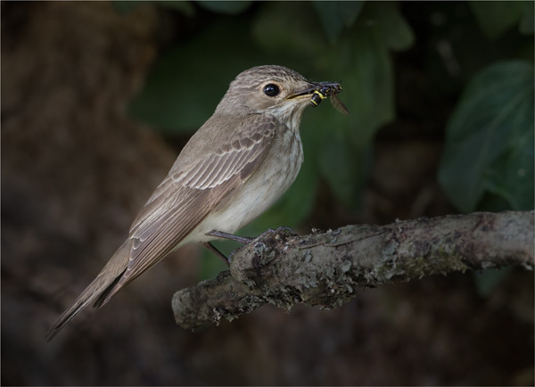 Spotted Flycatcher with Hoverfly