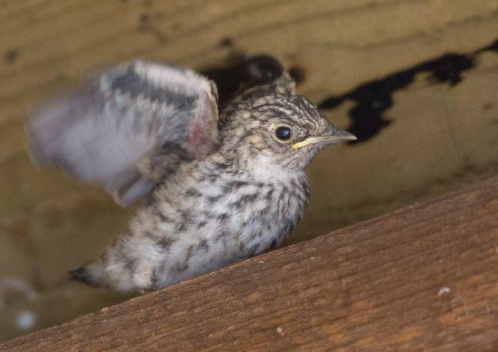 Spotted Flycatcher Nestling