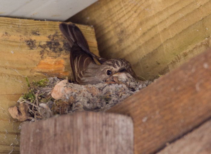 Spotted Flycatcher - incubating