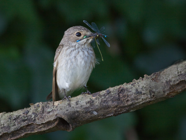 Spotted Flycatcher with Four Damselflies