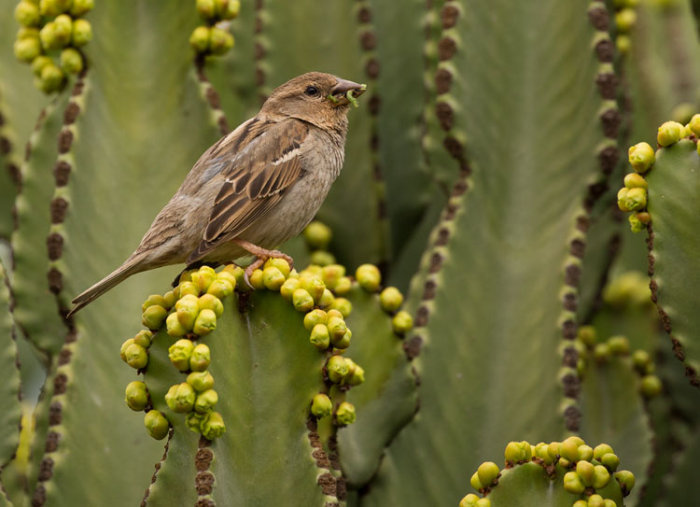Spanish Sparrow, female