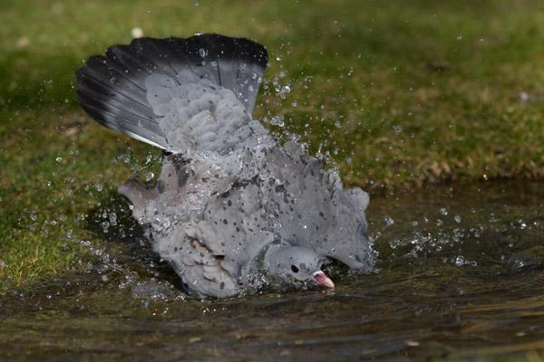 Stock Dove - bathing