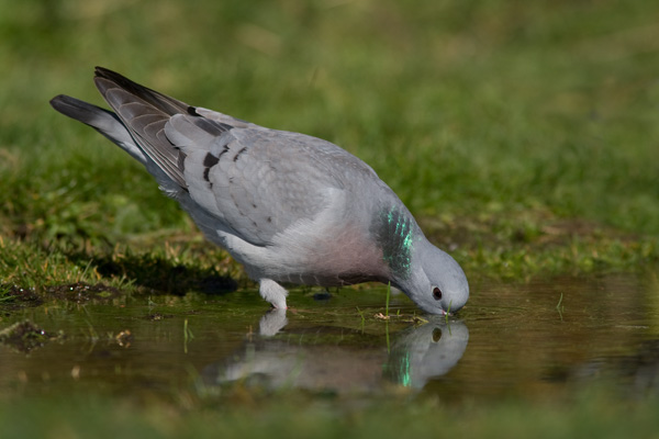 Stock Dove at Water