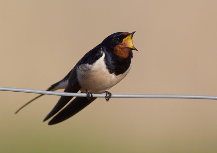 Swallow Aggression